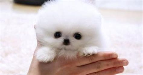 teacup american eskimo puppies for sale pom pom american eskimo and pom puppy micro teacup puppies