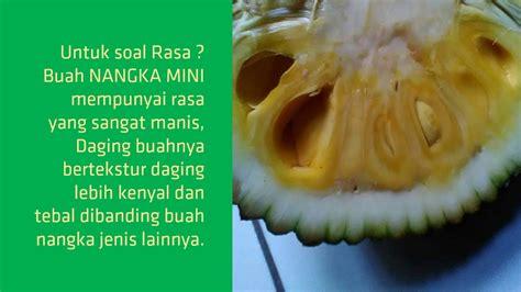 Bibit Nangka Mini Unggul jual bibit buah nangka mini unggul hp 085707858020