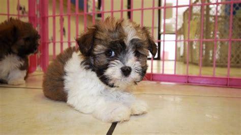 havanese breeders in ga sweet havanese puppies for sale in at puppies for sale local breeders