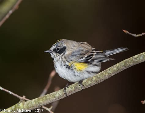 photographing yellow rumped warblers spring migration is