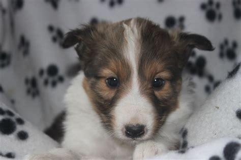 sheltie puppies for sale on craigslist 1000 ideas about sheltie puppies for sale on collies for sale collie