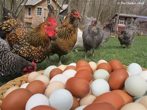 Backyard Poultry Production by The Chicken 174 Tips For Selecting Chicken Breeds The
