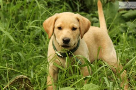 lab puppies for sale in nebraska labrador retriever puppy for sale near omaha council bluffs nebraska 1f8e6a34 9c61