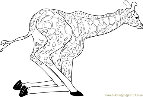 giraffe coloring pages pdf baby giraffe getting up coloring page free giraffe