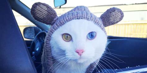gatti con occhi diversi che occhi dal gufo al gattino 15 animali con gli occhi