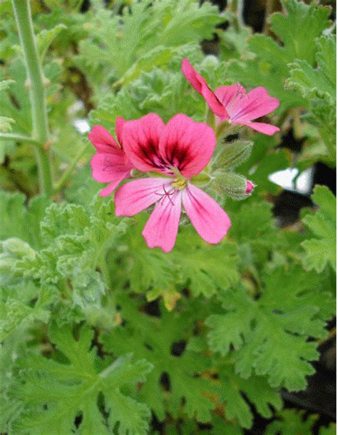 best scented geranium scented geranium pelargonium species