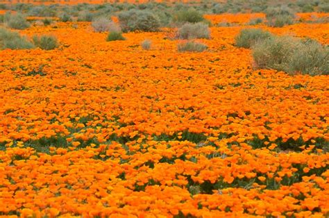 fields  pure gold  antelope valley poppy reserve