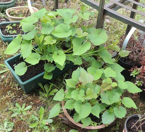 Quand Planter Les Patates Douces by Plantation De Patates Douces Une Bonne Nouvelle Par