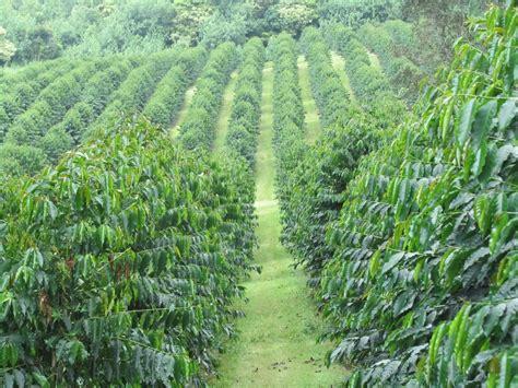 coffee plantation wallpaper hawaiian gold kona coffee gold coffee