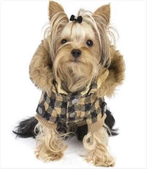 yorkie winter coats 158 best cutest yorkies images on fluffy pets cutest animals and adorable