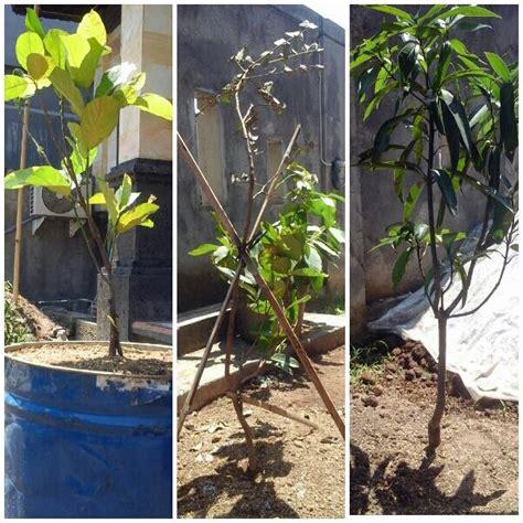 Jual Bibit Buah Naga Jakarta jual tanaman buah dalam pot 0878 55000 800 jual bibit