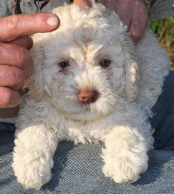 lagotto puppies 37 best images about lagotto romagnolo on