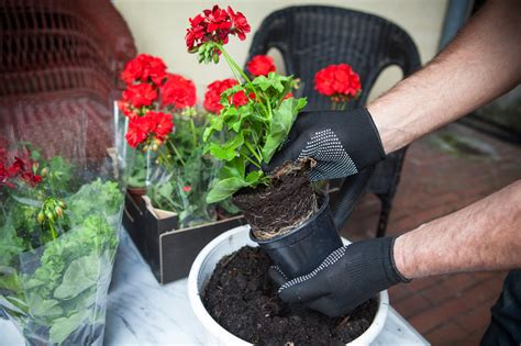pflanzzeit geranien balkon geranien pflanzen 187 der gro 223 e ratgeber