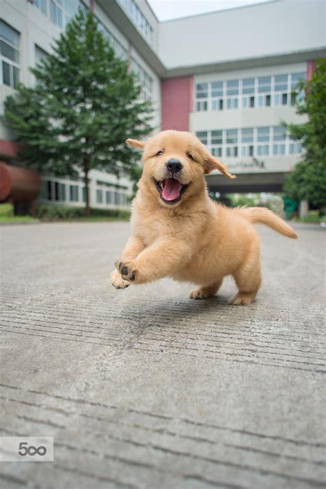 a baby golden retriever handsomedogs happy golden retriever baby zhao hui