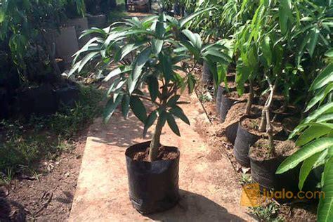 Bibit Buah Mangga Kiojay bibit tanaman buah mangga kiojay kab karawang jualo
