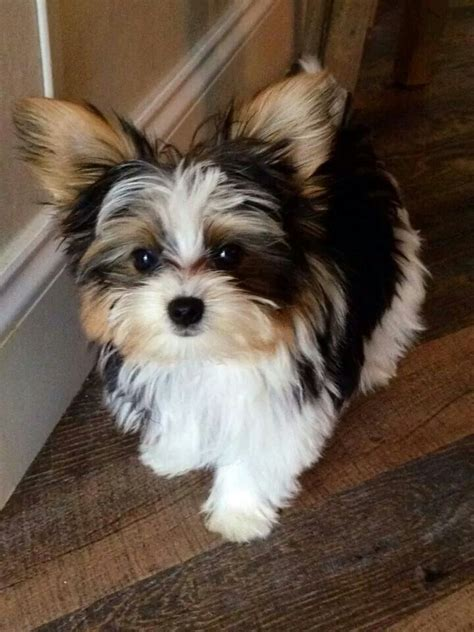 biewer puppies for sale biewer puppies fo sale st albans hertfordshire pets4homes