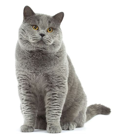 shorthair cat shorthair royal canin