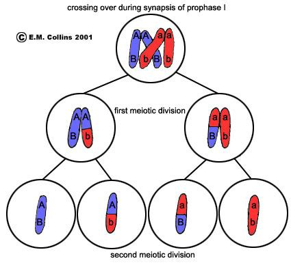 lab manual exercise #2a meiosis