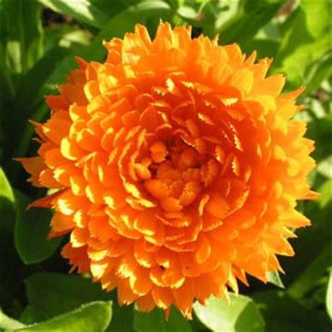 fiore di calendula calendula