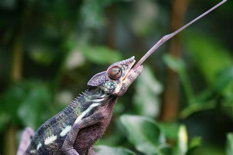 alimentazione camaleonte come alimentare il camaleonte