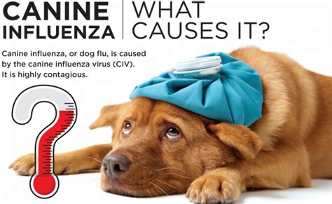 can dogs catch the flu from humans outbreak of a highly contagious flu has pet owners concerned