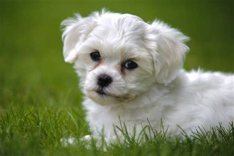 havanese disposition havanese temperament