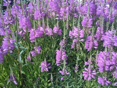 Purple Flowers Forums Purple Garden Flowers Identification