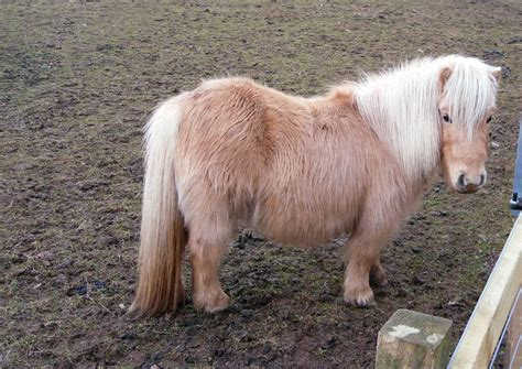 Palomino Zizi shetland pony stock 1 by meta stock on deviantart