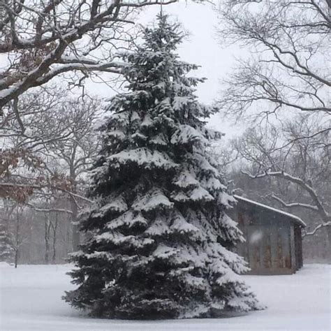 Simple Search Il Snowy Pine Tree Northern Il Happy Photos
