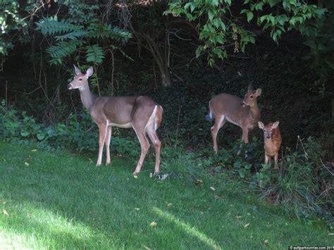 deer in backyard sunrise 96 alms park white tail deer family alms park