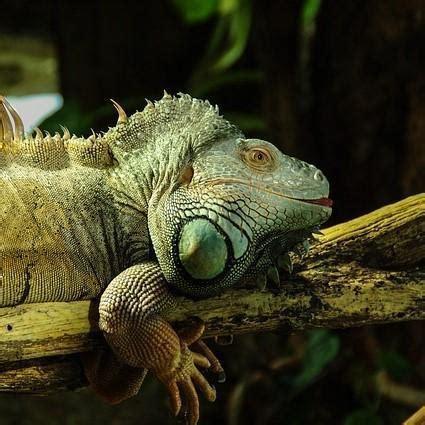 Iguana L l iguana come animale domestico