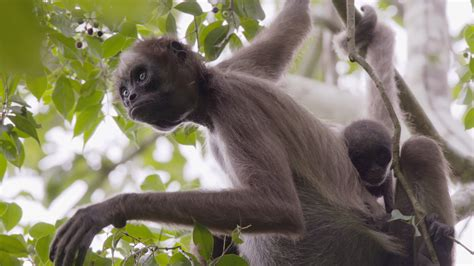 animals that swing from trees swing through the trees with amazing spider monkeys
