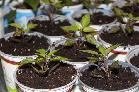 growing ornamental peppers   rage  big flower