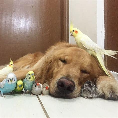 golden retriever with birds golden retriever befriends 8 birds and a hamster stardom ensues techeblog