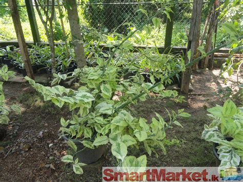 ornamental plants ornamental plant