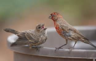 california house finch california house finch photos