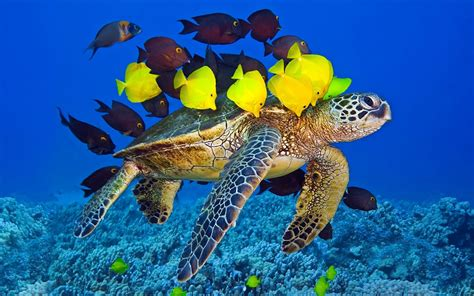 1680x1050 ocean animals fish turtles sea turtles underwater 1080x810