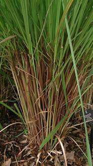 growing citronella grass learn about the citronella