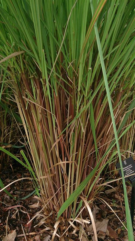 growing citronella grass learn about the citronella grass plant