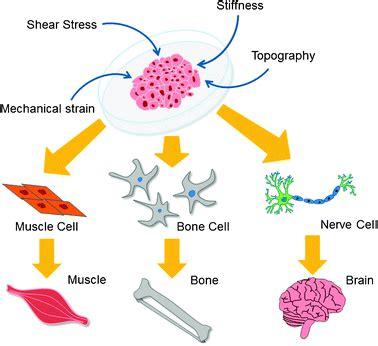stem cell diagram stem cell clipart 19