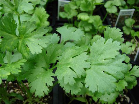 coriander cilantro coriandrum sativum coriander go botany