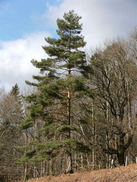 scotch pine trees scots pine scotch pine pinus sylvestris