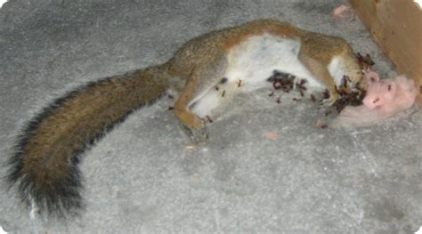 Squirrel In Ceiling dead squirrel in ceiling
