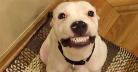 can dogs smile herbert the rescue can smile on command