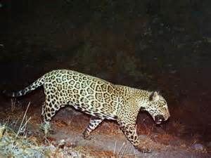 Which Country Is Jaguar From Only Known Us Jaguar On