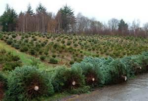 catsfield christmas tree farm battle east sussex mrs