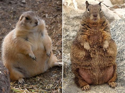 Fat Squirrels that Totally Overate This Winter