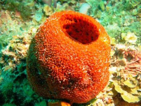 imagenes de animales poriferos las esponjas perpetuo enigma del mar
