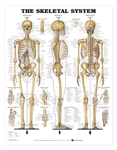 skeletal system the skeletal system anatomical products