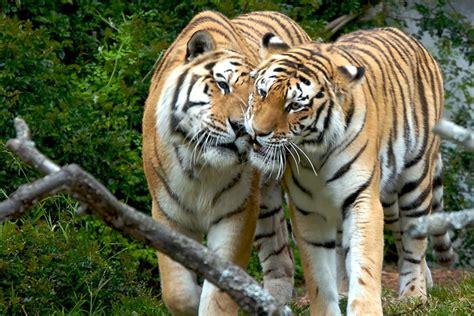 fotos animales tigres image gallery imagenes de tigres